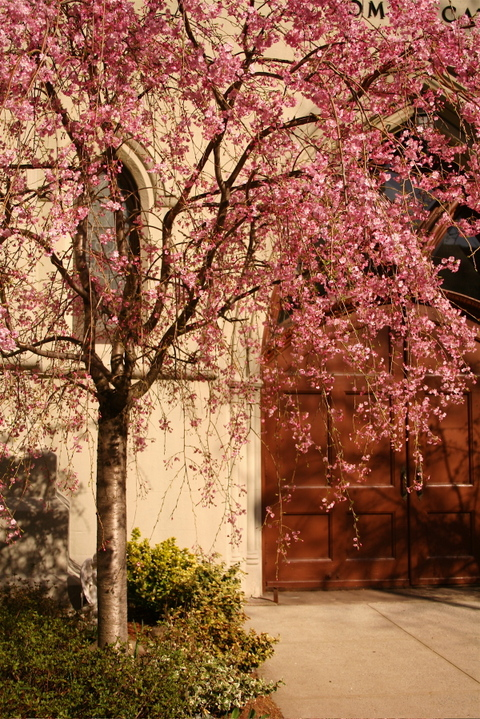 Church_and_the_cherry_blossom