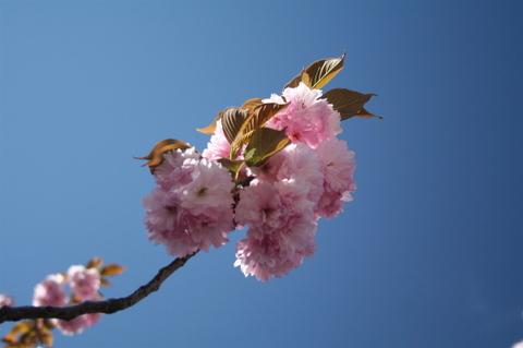 Cherry_blossom_porn