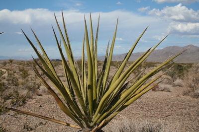 Aloe_in_desert